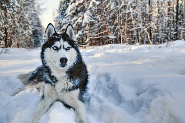 Husky dog lying in the Husky dog lying in the snow. Black and white Siberian husky with blue eyes on a walk in winter park. sled dog stock pictures, royalty-free photos & images