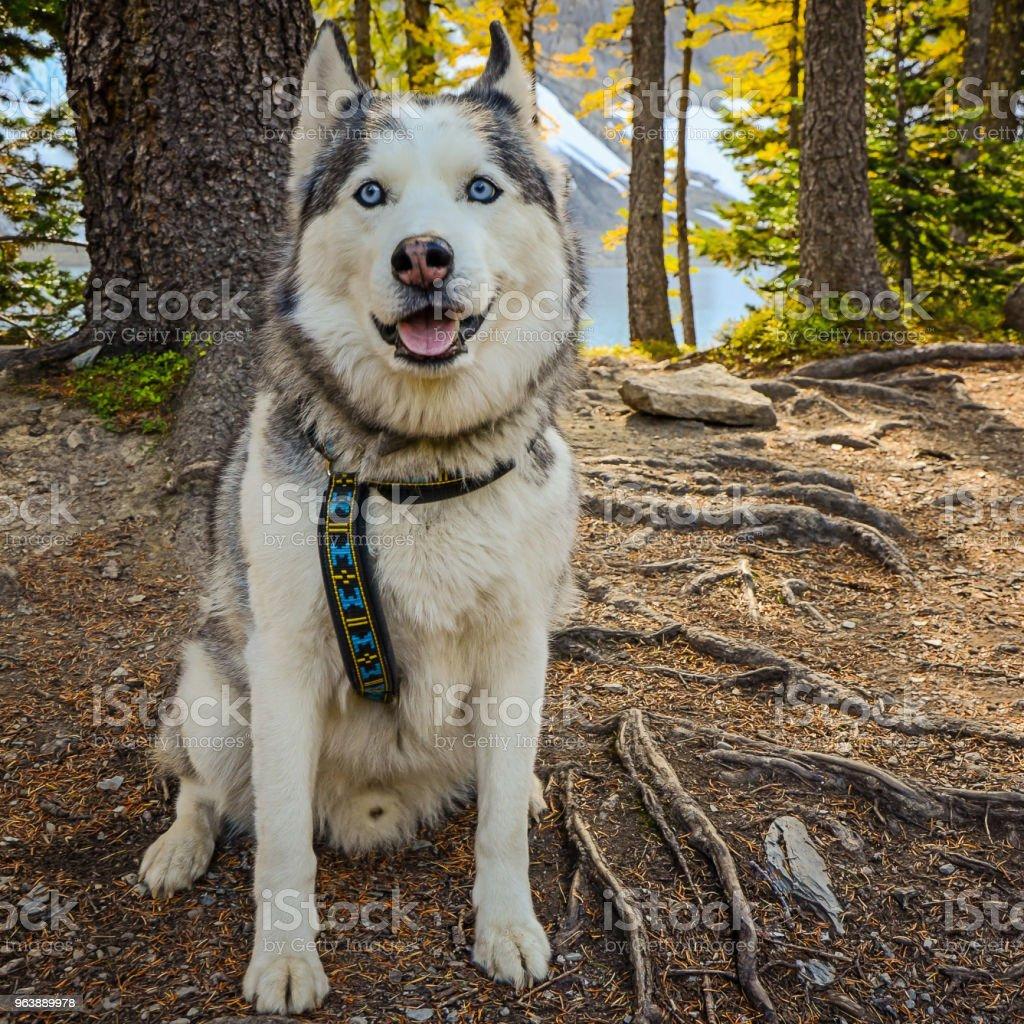 Husky Dog on a hike - Royalty-free Adventure Stock Photo