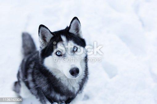 Husky dog on snow. Copy space.