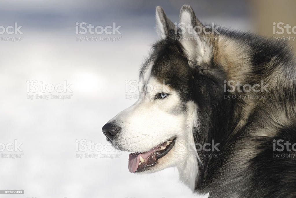 Husky dog royalty-free stock photo
