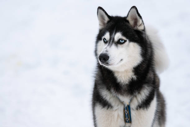 Husky dog portrait, winter snowy background. Funny pet on walking before sled dog training. Husky dog portrait, winter snowy background. Funny pet on walking before sled dog training. husky dog stock pictures, royalty-free photos & images