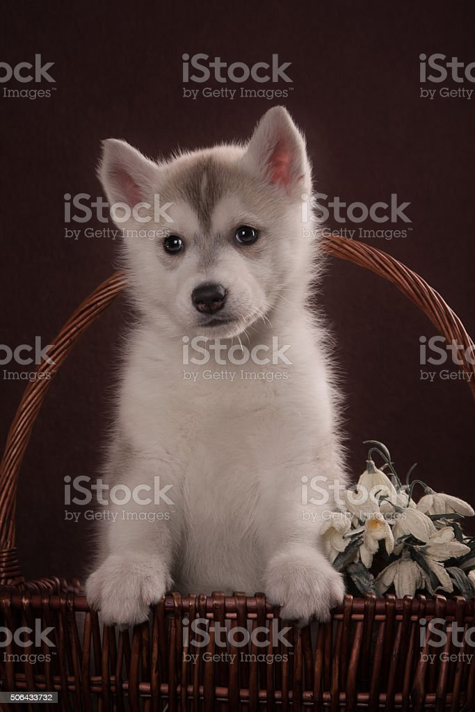 Husky dog puppy one month old in a basket stock photo