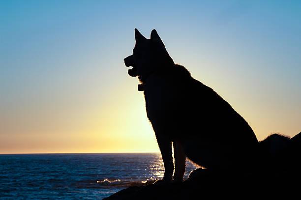 Husky dog silhouette sit at sunset picture id485705910?b=1&k=6&m=485705910&s=612x612&w=0&h=mjtgd2vggqneqqlbu1t0asvukoowuadiqmyy0exvs7e=