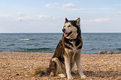 istock A husky dog sits on the sand, on the beach and looks. 1225936234