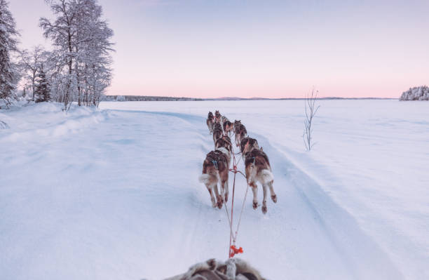 Husky dog sledding in Lapland, Finland Huskey dogs sledge safari ride at sunset in winter wonderland, Levi, Lapland, Finlad husky dog stock pictures, royalty-free photos & images