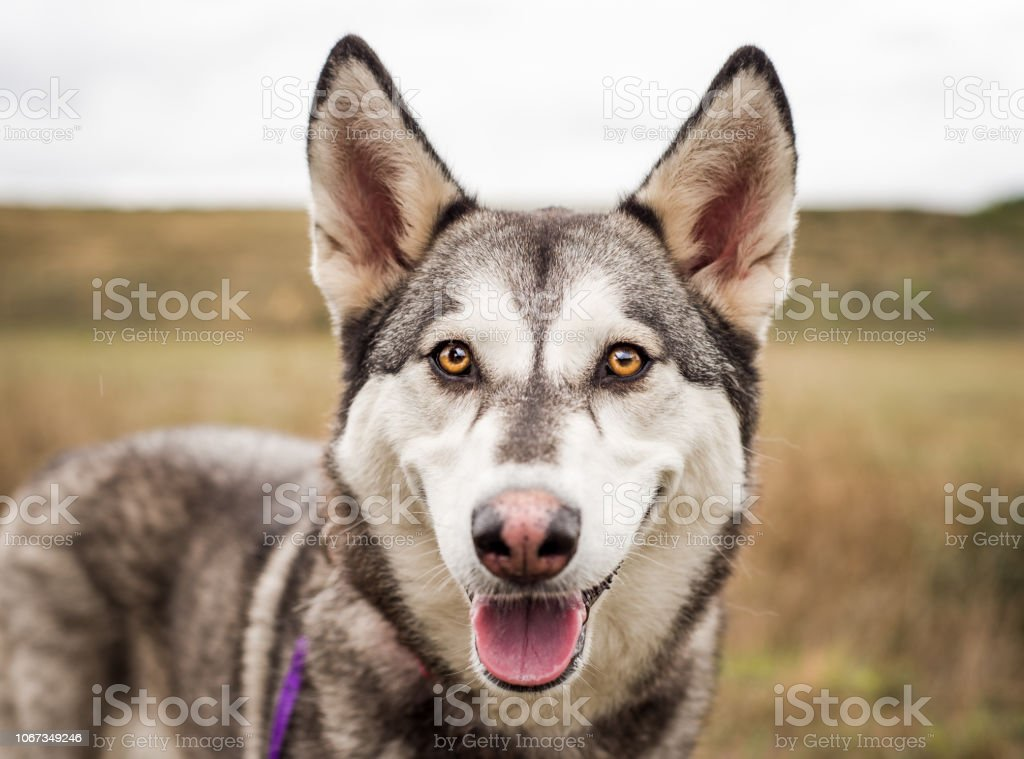 Husky dog smiling and looking at the camera stock photo