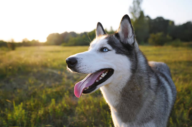 Husky dog walking over the meadow during the sunset. Husky dog walking over the meadow during the sunset. Closeup portrait sled dog stock pictures, royalty-free photos & images