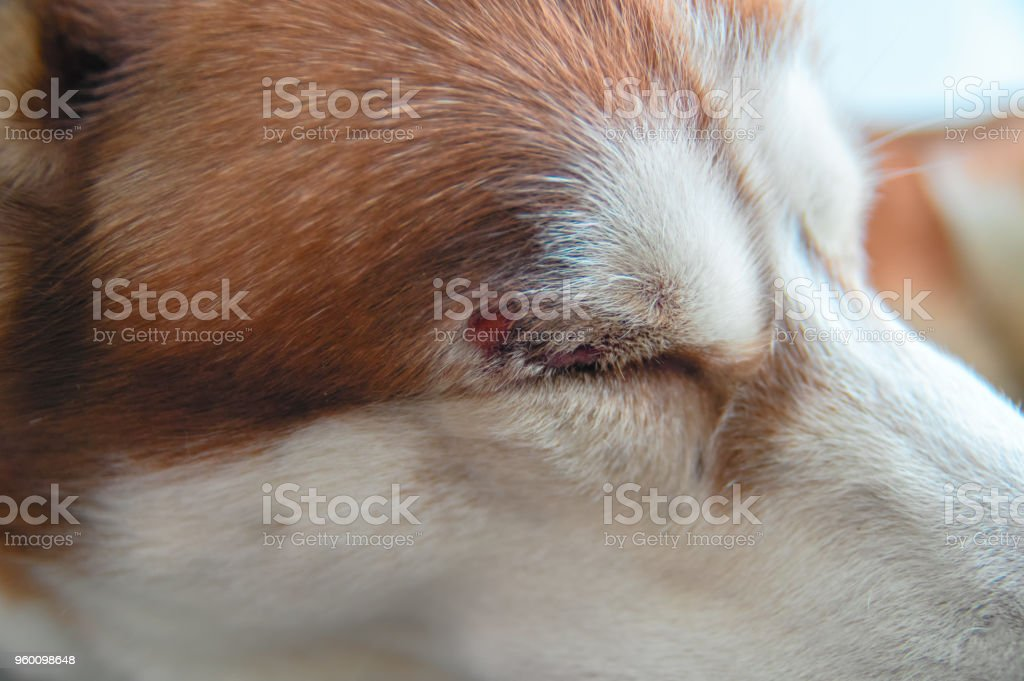 Husky dog with a wound over his eye. stock photo