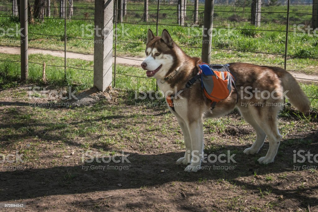 Husky dog with an orange backpack on his back on the training area....