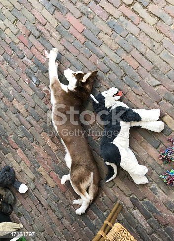 Puppy husky dog sleeping with his toy friend