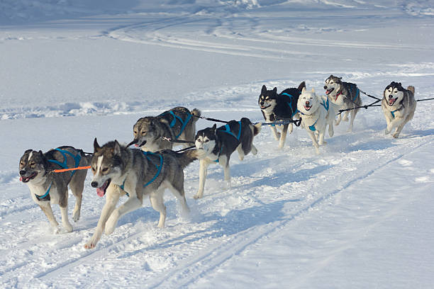 Husky dogs and alaskan malamute at race in winter. stock photo
