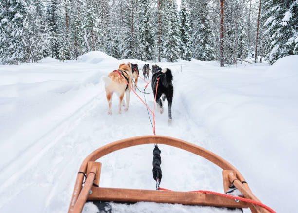 Husky dogs in sled at Rovaniemi forest Husky dogs in sled at Rovaniemi forest, in winter Finland, Lapland sled dog stock pictures, royalty-free photos & images
