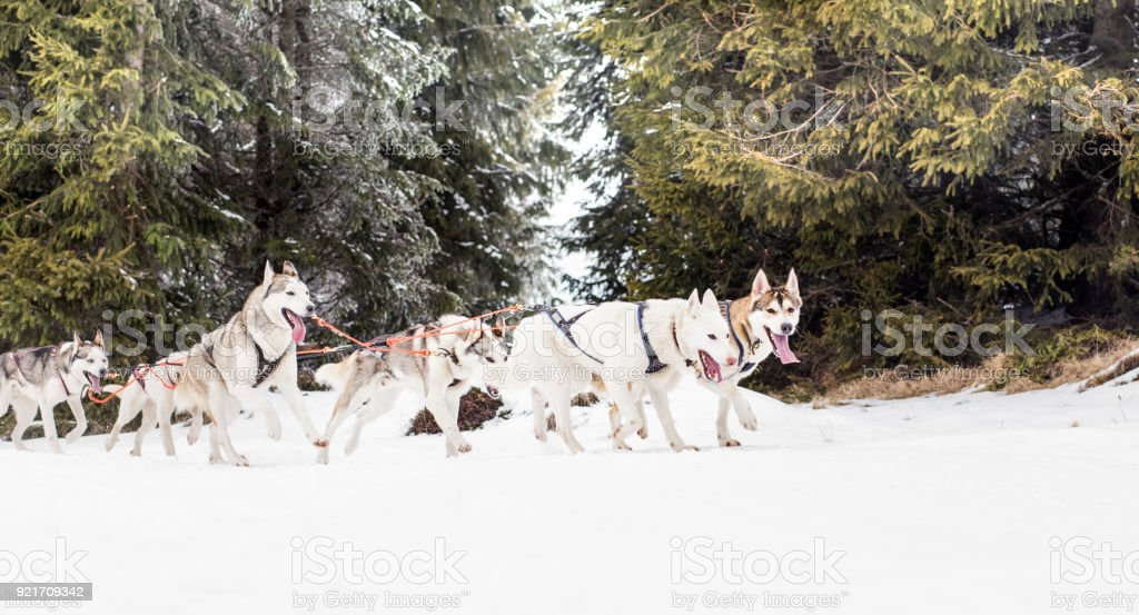 Husky dogs sledge competition stock photo