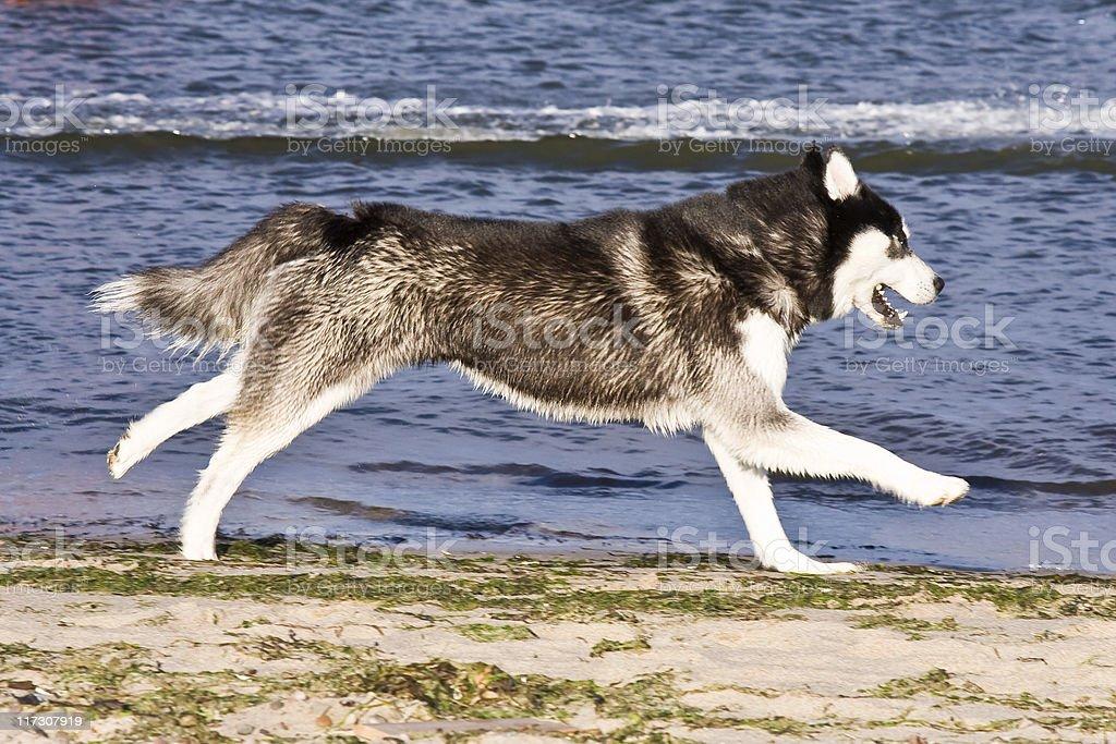 husky having fun royalty-free stock photo