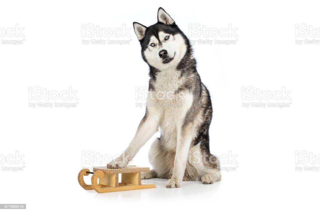 Husky Hund Schlittenhund Rassehund sitzt mit Pfote auf Holzschlitten und guckt stolz stock photo