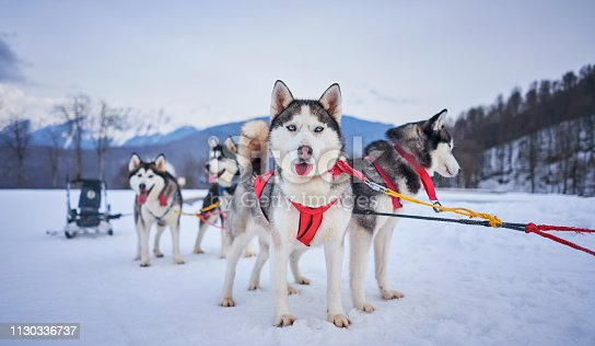 husky in harness in the mountains