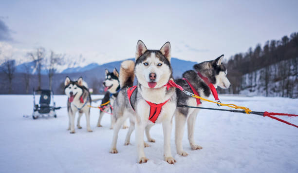 husky in harness in the mountains - altai nature reserve стоковые фото и изображения