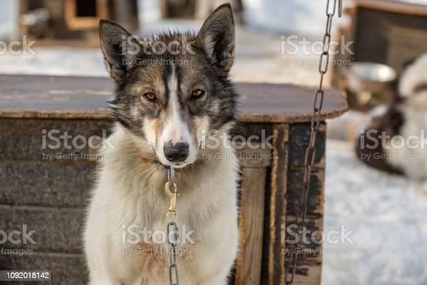 Husky in norway picture id1092018142?b=1&k=6&m=1092018142&s=612x612&h=m0e9f1z2olacnp6ftqikctwlnl7cpxajkyuybotiypq=