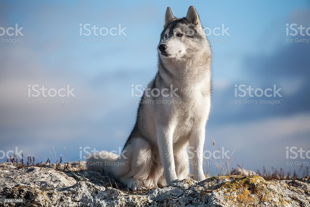 Husky in the mountains stock photo