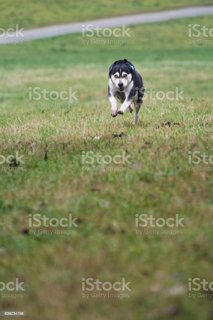 Husky im Spurt stock photo