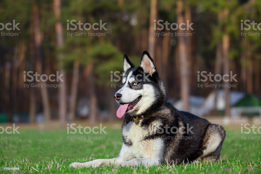 Husky is resting after jogging. stock photo