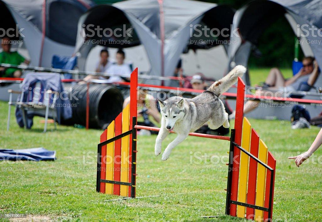 Husky jump stock photo