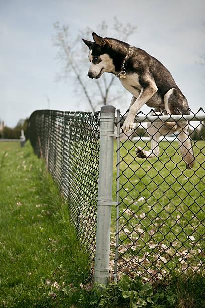 Husky jumping over an outdoor dog park fence picture id181635077?b=1&k=6&m=181635077&s=612x612&w=0&h=jnfnvpu6xaff5op6jvcvm1q3y v0kd6rjmasrytsnpu=