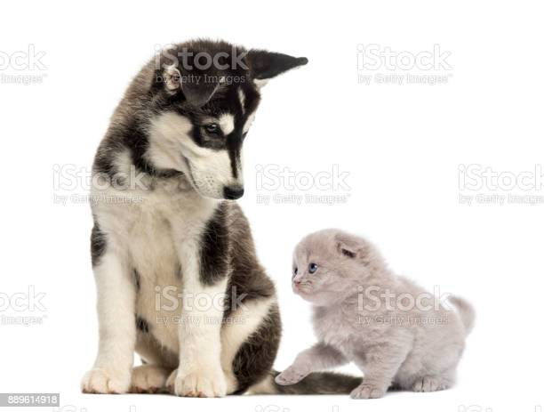 Husky malamute puppy sitting and looking at a kitten picture id889614918?b=1&k=6&m=889614918&s=612x612&h=ykq9laob5 elmmpk5mwiq guemystiomx0bqufv3qf0=