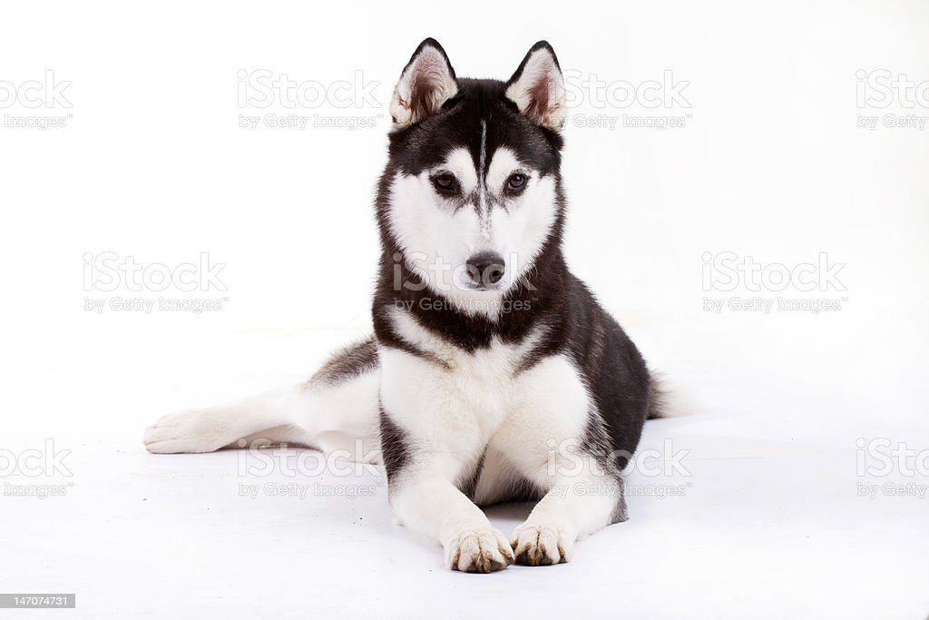 husky royalty-free stock photo