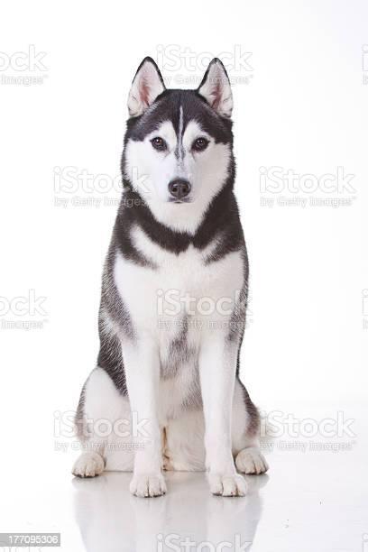 Husky picture id177095306?b=1&k=6&m=177095306&s=612x612&h=ie1pjjcgqk5u5rucwhdfkhexyslo3pcxv9won7qitl0=