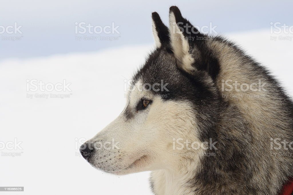 Husky portrait royalty-free stock photo