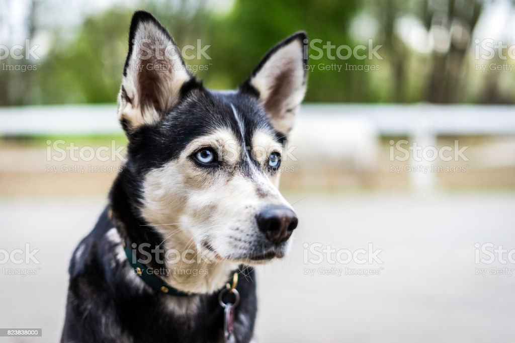 Husky Portrait stock photo