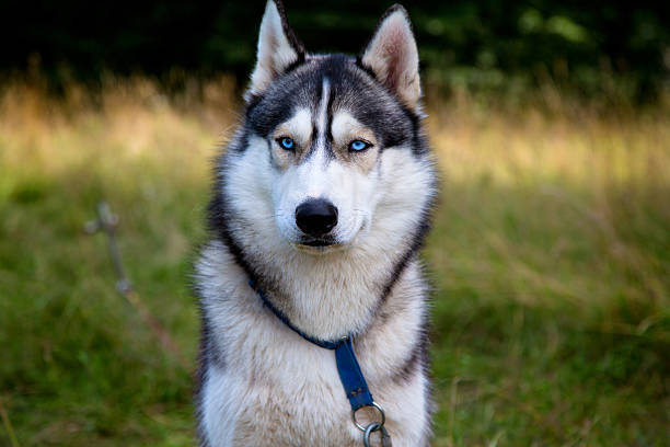 Husky portrait with blue eyes stock photo