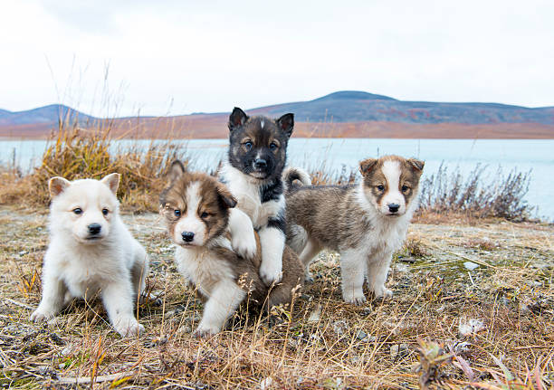 Husky puppies Greenland hill. stock photo