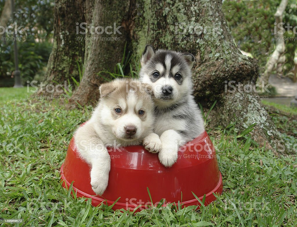 Husky puppies stock photo