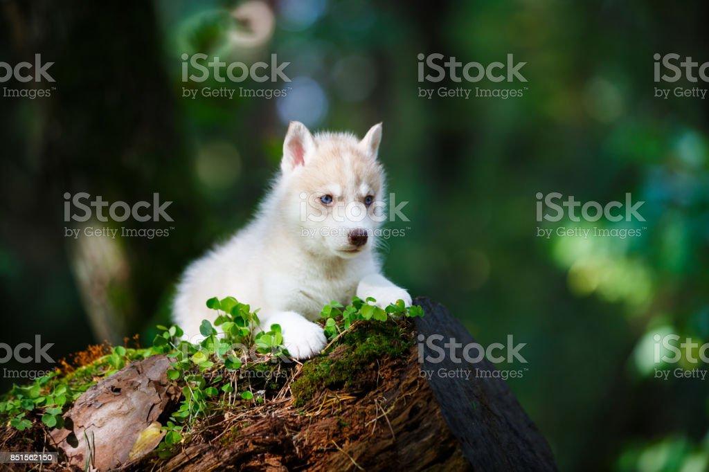 Husky cachorro en un bosque salvaje - foto de stock