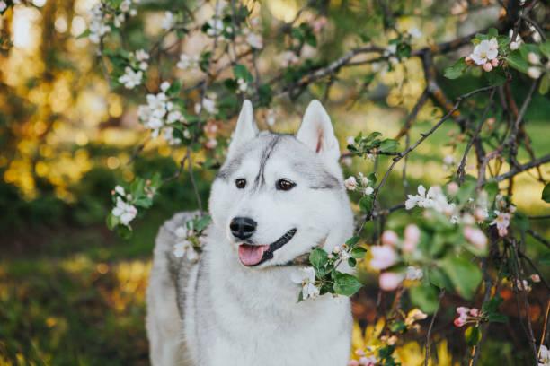 Husky Welpen in der Natur – Foto