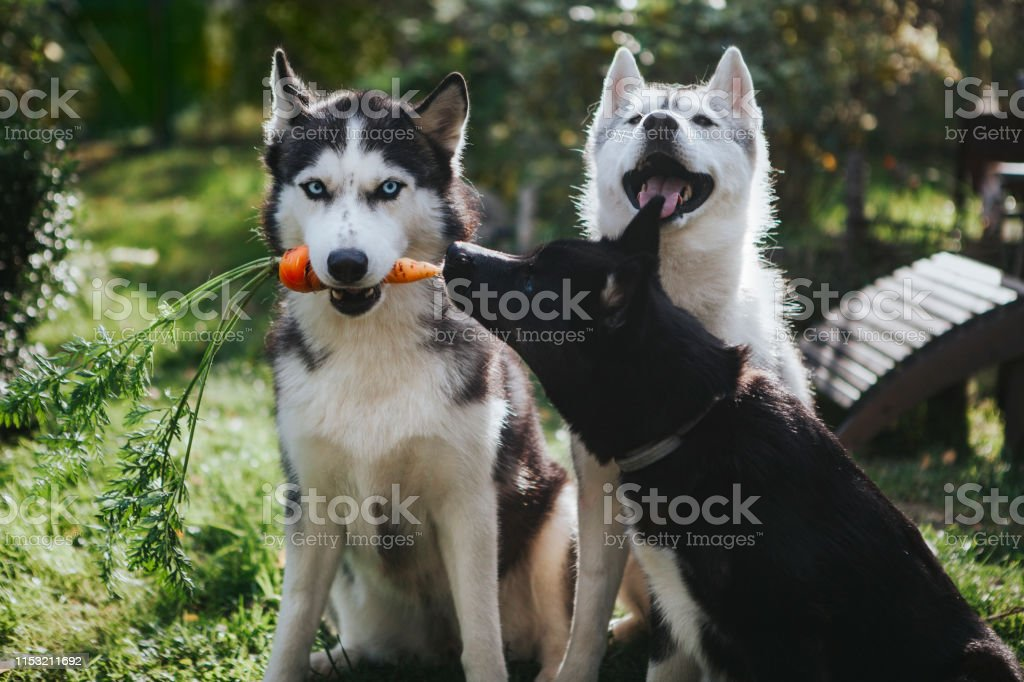Husky Puppy In Nature Stock Photo Download Image Now Istock