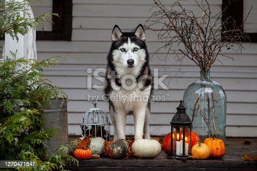 Black Husky Puppy celebrates Halloween