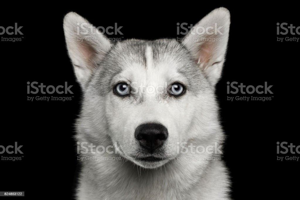 Husky Puppy Isolated on Black Background stock photo