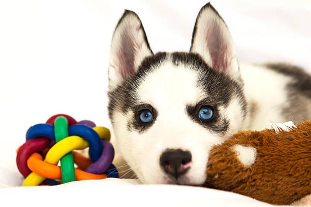 Husky Puppy stock photo