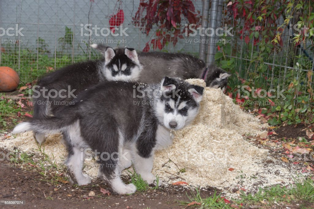 Husky puppy playing in litter stock photo