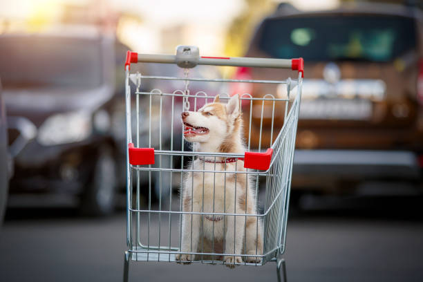 husky puppy sitting in the shopping basket near the market - pet shop and dogs not cats stock pictures, royalty-free photos & images