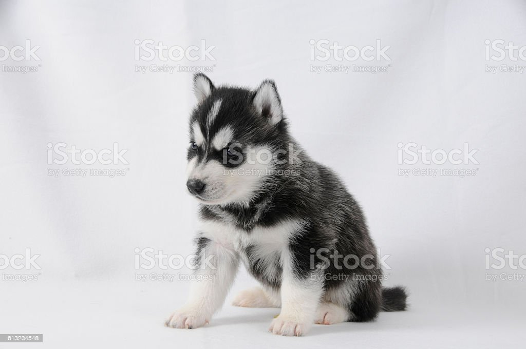 Husky Puppy With Black And White Fur Stock Photo More Pictures Of