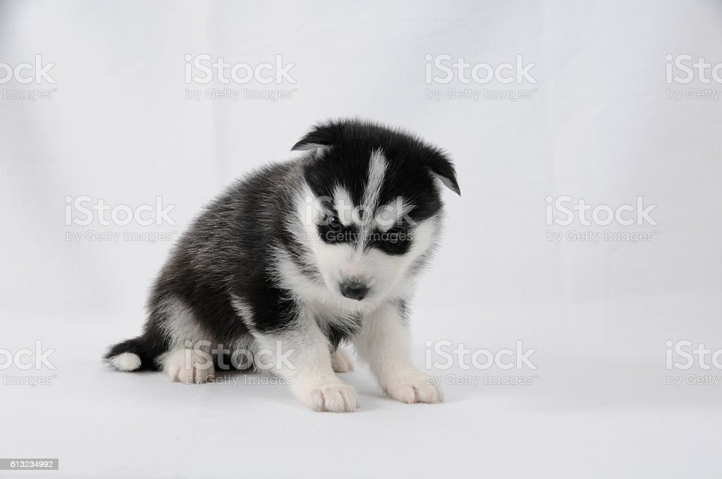 Husky Puppy With Black And White Fur Stock Photo Download Image Now Istock