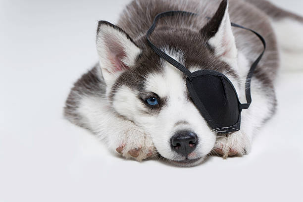 Husky Puppy with Eye Patch Husky Puppy with Eye Patch costume eye patch stock pictures, royalty-free photos & images