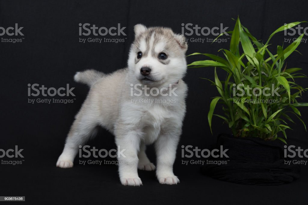 Husky puppy with white fur and dark brown eyes stock photo