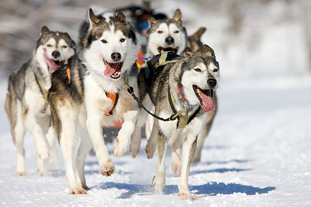 husky race front view at four  siberian huskys at race in winter working animal stock pictures, royalty-free photos & images