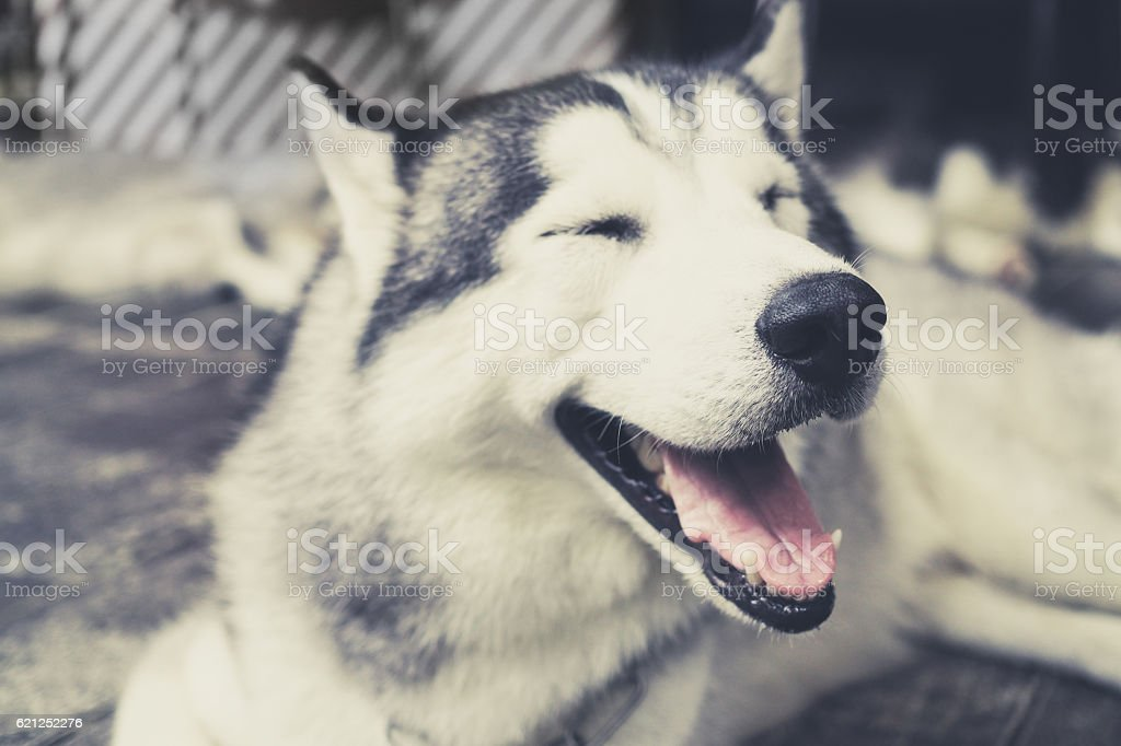 Husky Siberian dog happily laughing and smiling outside – Foto