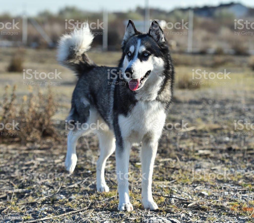 husky siberian stock photo